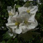 Apfelbaum weisse Bluete Malus domestica 01 2