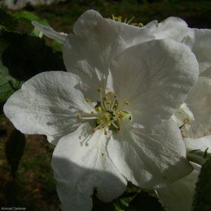 Apfelbaum weisse Bluete Malus domestica 02