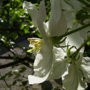 Apfelbaum weisse Bluete Malus domestica 04 1