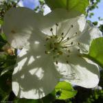 Apfelbaum weisse Bluete Malus domestica 05
