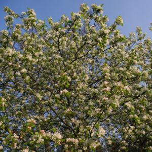 Apfelbaum Malus domestica 05