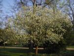 Apfelbaum Malus domestica 06