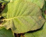 Aphentulis Koenigskerze Staude Blatt gruen Verbascum aphentulium 01