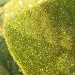 Aphentulis Koenigskerze Staude Blatt gruen Verbascum aphentulium 04