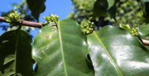 Arabica-Kaffee Bergkaffee Blatt grün Coffea arabica
