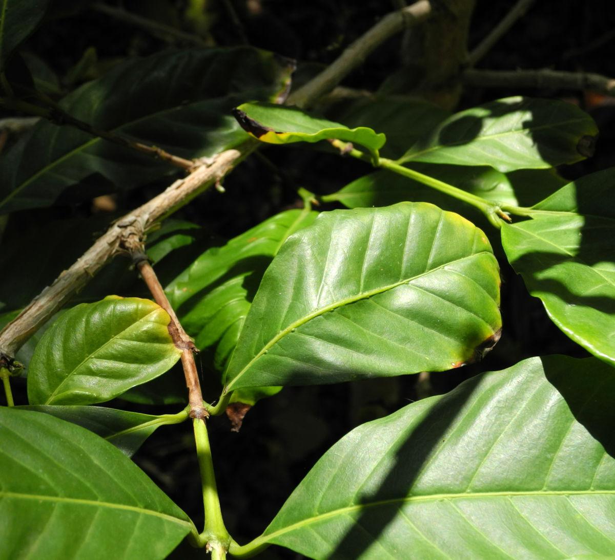 Arabica Kaffee Blatt gruen Coffea arabica