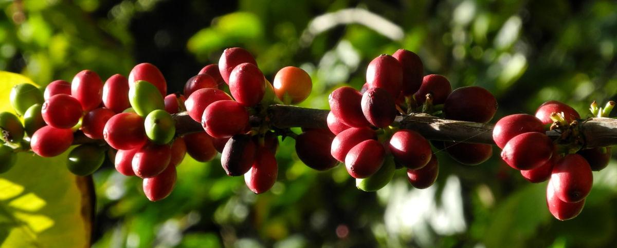 Arabica Kaffee Frucht rot gruen Coffea arabica