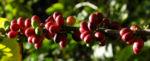 Bild: Arabica-Kaffee Frucht rot grün Coffea arabica