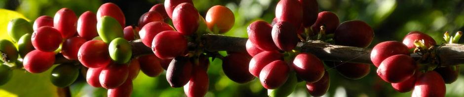 Anklicken um das ganze Bild zu sehen  Arabica-Kaffee Frucht rot grün Coffea arabica