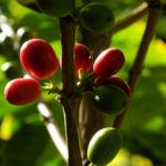 Arabica Kaffee Frucht rot gruen Coffea arabica 02