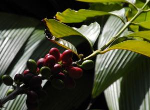 Arabica Kaffee Frucht rot gruen Coffea arabica 03