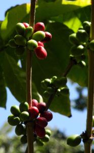 Arabica Kaffee Frucht rot gruen Coffea arabica 05