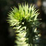 Araucarie Blatt gruen Araucaria araucana 03