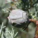 Arizona Zypresse Strauch Frucht blau gruen Cupressus glabra 02