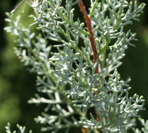 Arizona Zypresse Strauch Frucht blau gruen Cupressus glabra 07