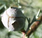 Arizona Zypresse Strauch Frucht blau gruen Cupressus glabra 08