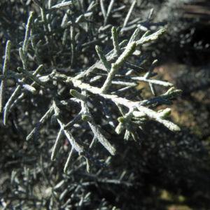 Arizona Zypresse Strauch Zweige blau gruen Cupressus glabra 03