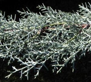 Arizona Zypresse Strauch Zweige blau gruen Cupressus glabra 15