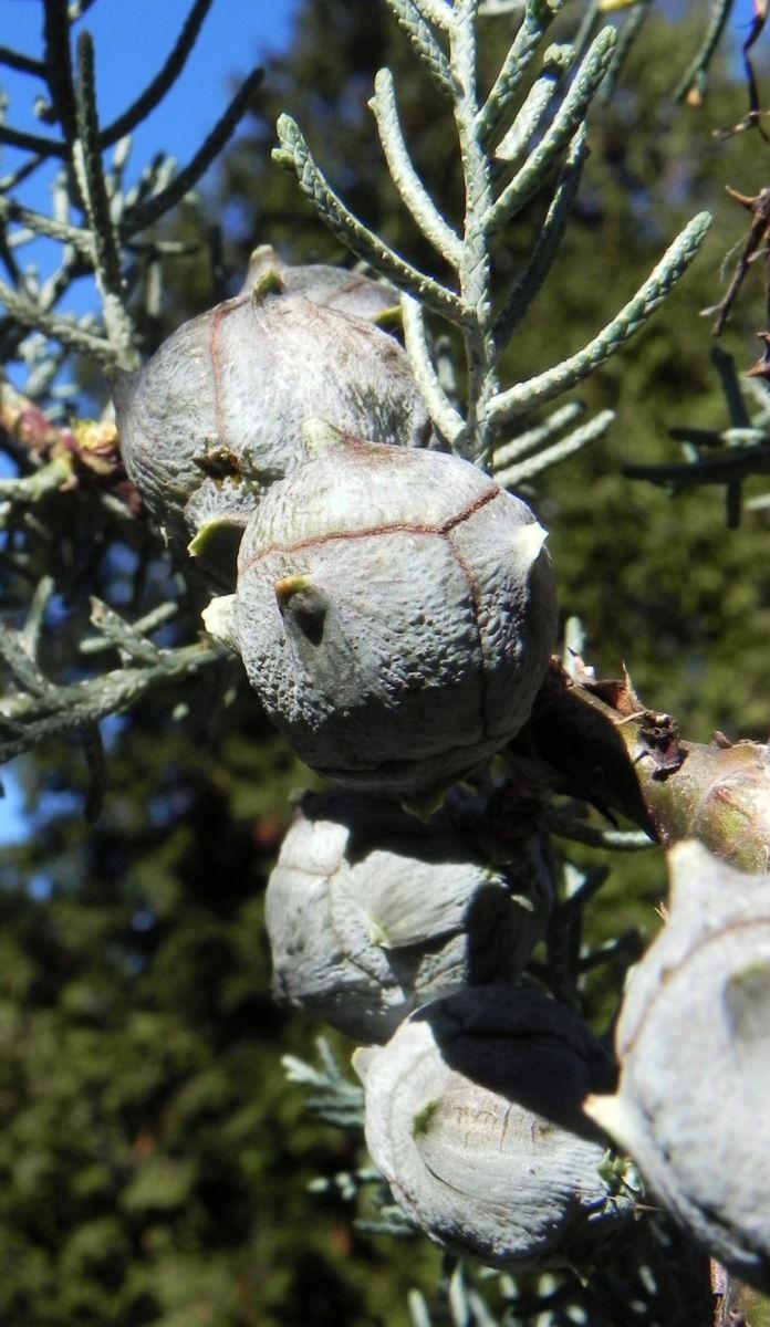 Arizona Zypresse Strauch Zweige blau gruen Cupressus glabra