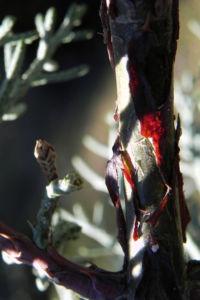 Arizona Zypresse Strauch Zweige blau gruen Cupressus glabra 22