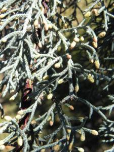 Arizona Zypresse Strauch Zweige blau gruen Cupressus glabra 32