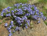 Armenischer Ehrenpreis Bluete blau Veronica armena 01