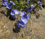 Armenischer Ehrenpreis Bluete blau Veronica armena 03