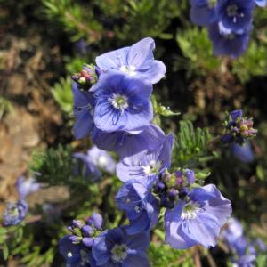 Armenischer Ehrenpreis Bluete blau Veronica armena 05