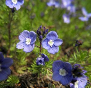 Armenischer Ehrenpreis Bluete blau Veronica armena 08
