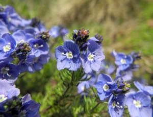 Armenischer Ehrenpreis Bluete blau Veronica armena 10
