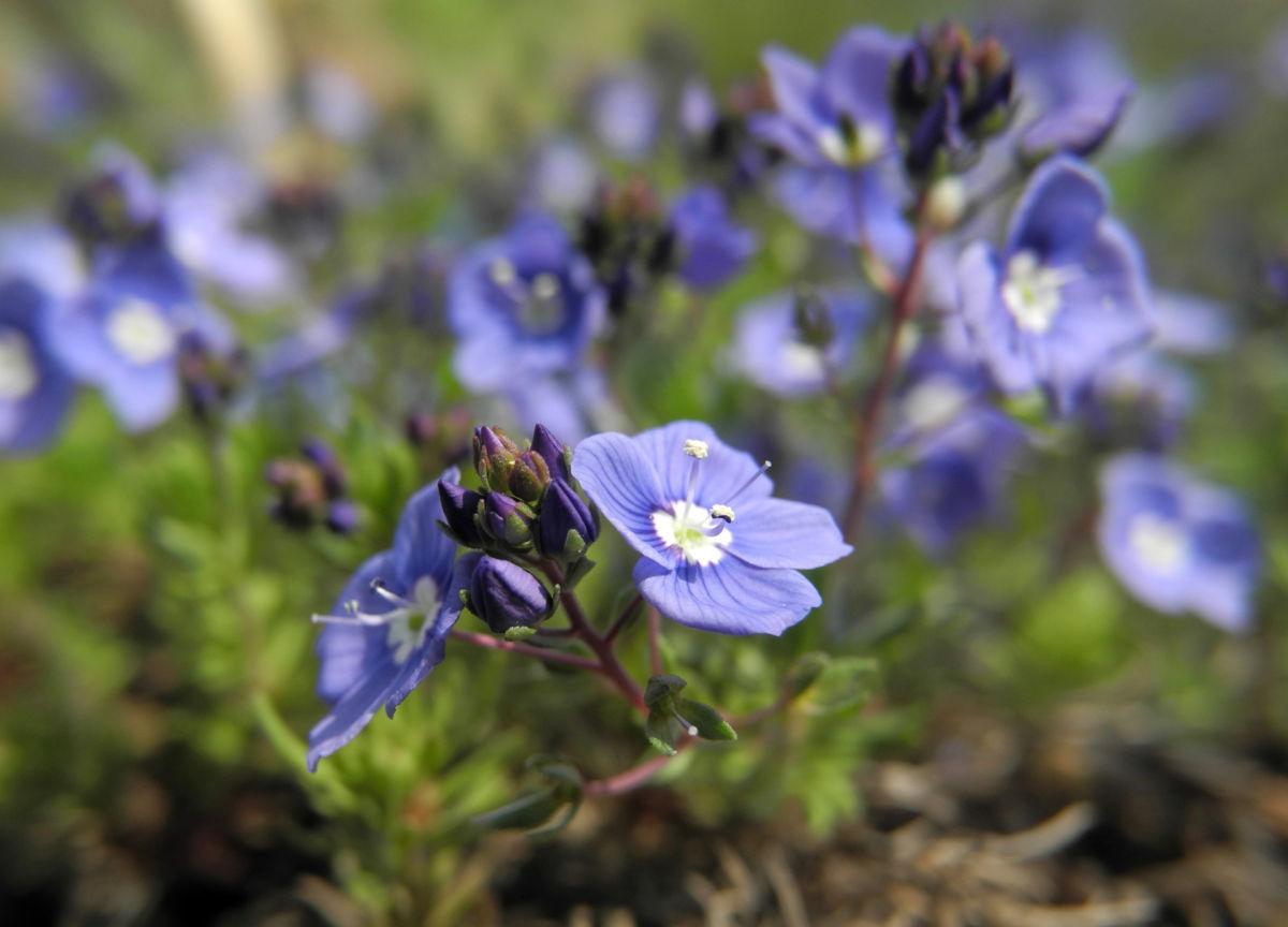 Armenischer Ehrenpreis Bluete blau Veronica armena
