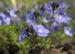 Zurück zum kompletten Bilderset Armenischer Ehrenpreis Blüte blau Veronica armena