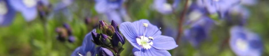 armenischer-ehrenpreis-bluete-blau-veronica-armena