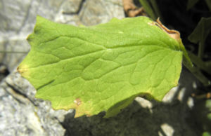 Arnika Blatt gruen Arnica montana 02