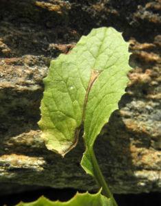 Arnika Blatt gruen Arnica montana 03