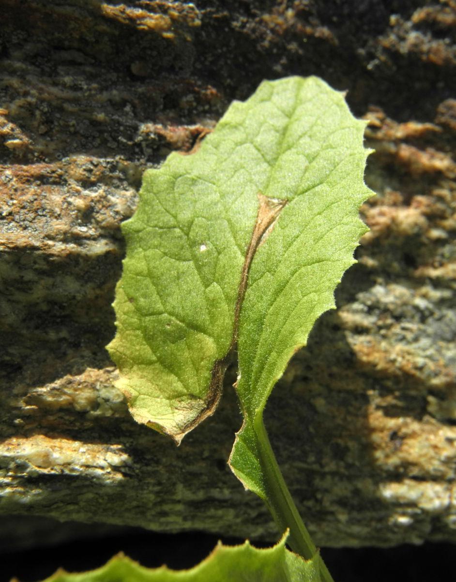 Arnika Blatt gruen Arnica montana