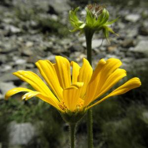Arnika Bluete gelb Arnica montana 01