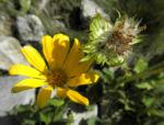Arnika Bluete gelb Arnica montana 03