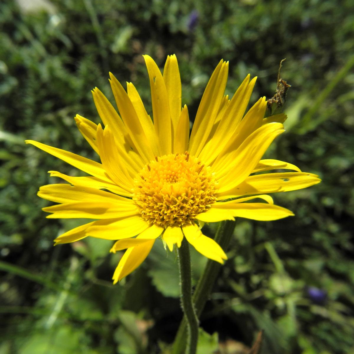 Arnika Bluete gelb Arnica montana