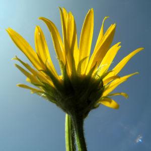 Arnika Bluete gelb Arnica montana 14