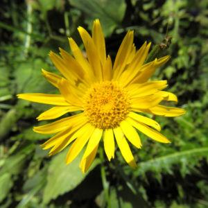 Arnika Bluete gelb Arnica montana 16