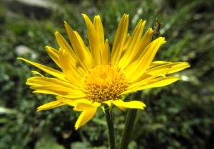 Arnika Bluete gelb Arnica montana 18