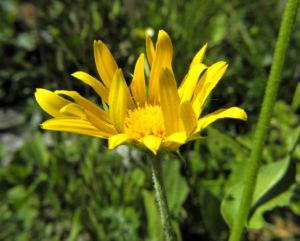 Arnika Bluete gelb Arnica montana 29