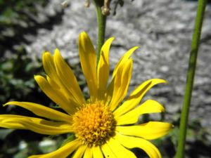 Arnika Bluete gelb Arnica montana 31