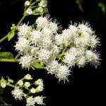 Aromatischer Wasserdost Bluete weiss Ageratina aromatica 07 1