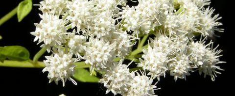 Anklicken um das ganze Bild zu sehen Aromatischer Wasserdost Blüte weiß - Ageratina aromatica