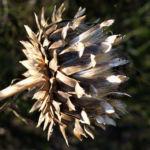 Artischocke Bluete lila Frucht braun Cynaria scolymus 02