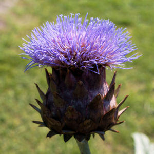 Artischocke Bluete lila Frucht braun Cynaria scolymus 04