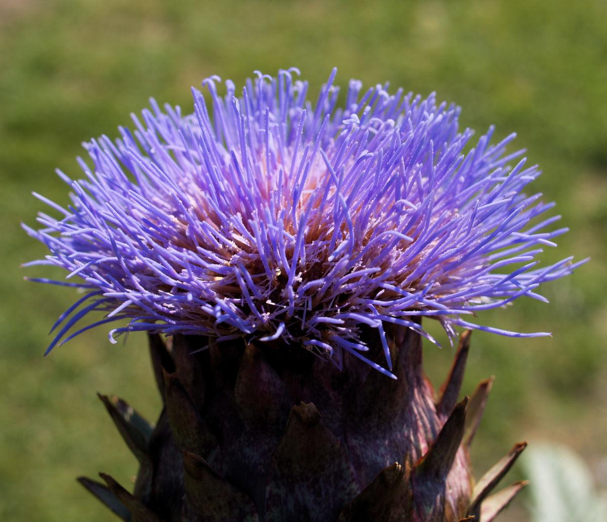 Artischocke Bluete lila Frucht braun Cynaria scolymus