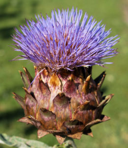 Artischocke Bluete lila Frucht braun Cynaria scolymus 09